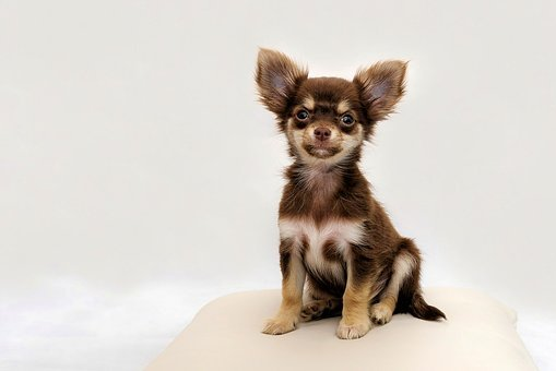 Chihuahua, Small Dog, Dog, Chiwawa, Cute, Purebred Dog