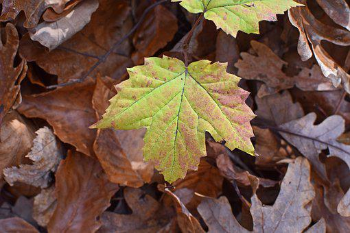 Maple Turning Color, Seedling, Tree, Forest Floor