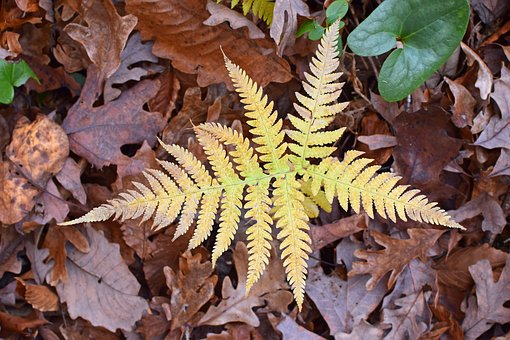 Fall Fern, Turning Color, Forest Floor, Plant, Foliage