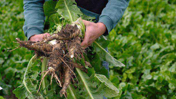 Chicory, Chicory Roots, Vegetables, Root, Food, Healthy