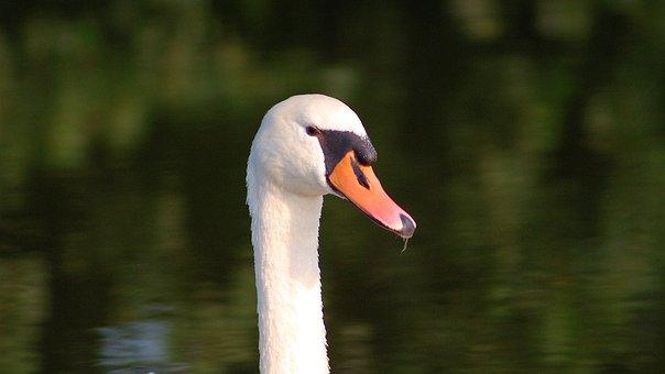 Swan, White, Lake, Water, Water Bird, Bird, Animal