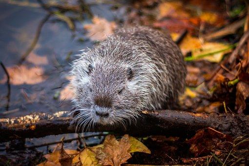 Muskrat, Lake, Rodent, Animal, Water, Nager, Nature