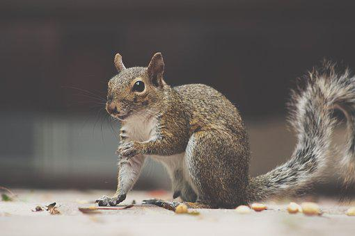 Squirrel, Fluffy, Animal, Rodent, Nature, Forest, Wild