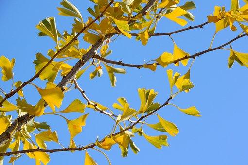Branch, Jinan Dvojlaločný, Gingko, Yellow Leaves