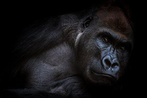Gorilla, Animals, Love Animals, Nature, Animal World