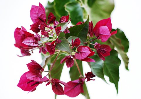 Bougainvilleas, Flowering, Colors, Bright Pink, Botany