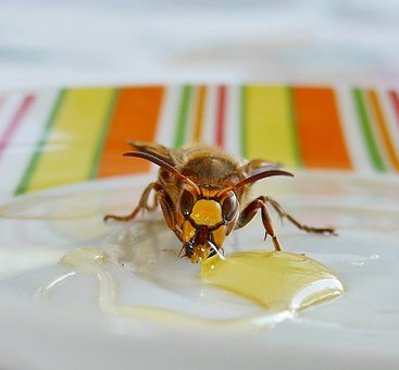Wasp, Bee, Animal, Honey, Garden, Breakfast