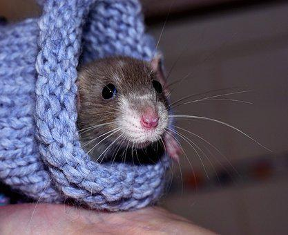 House Rat, Color Rat, Tame, Warm, Wool, Cute