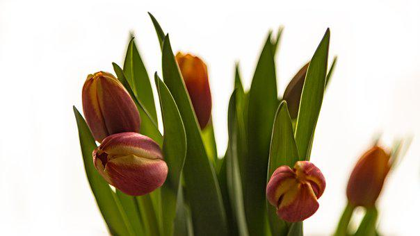 Tulips, Flowers, Flower, Deco, Decoration, Spring