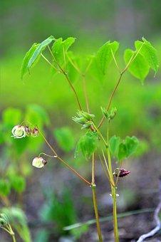 Medicinal Herbs, Epimedium, Health