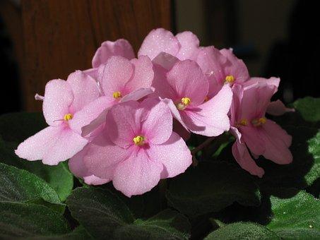 African Violets, Saintpaulia, Flower, Green, Flora