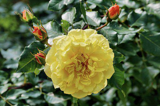 Rose, Rose Bush, Yellow, Flower, Nature, Garden