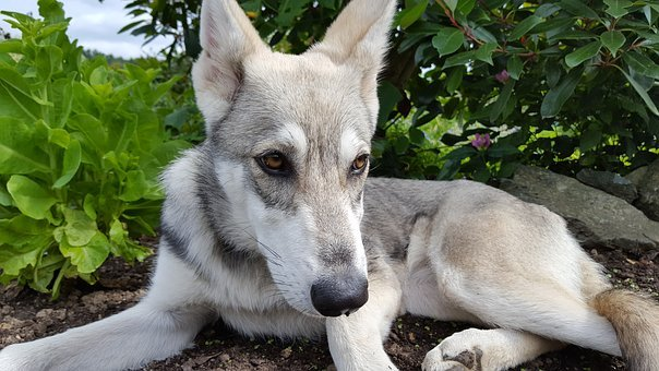 Wolf Dog, Dog, Animal, Pet, Grey