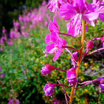 Alps, Flower, Mountain, Pink, Light, Nature, Landscape