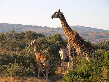 South Africa, National Park, Giraffe