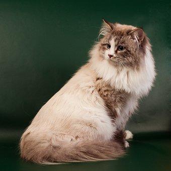 Neva Masquerade Cat, Cat, Nevsky, Beautiful, Housecat