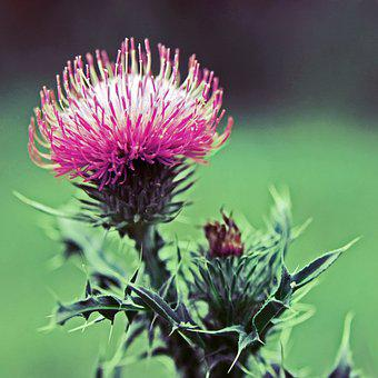 Thistle, Wildflower, Plant, Green, Blossom, Natural