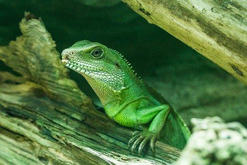 Lizard, Green, Nature, Reptile, Scale, Animal