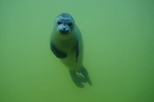 Seal, Sea, Animal, Meeresbewohner, North Sea, Nature