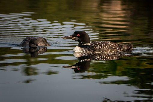 Loon, Nature, Bird, Lake, Water, Canada, Summer, Animal