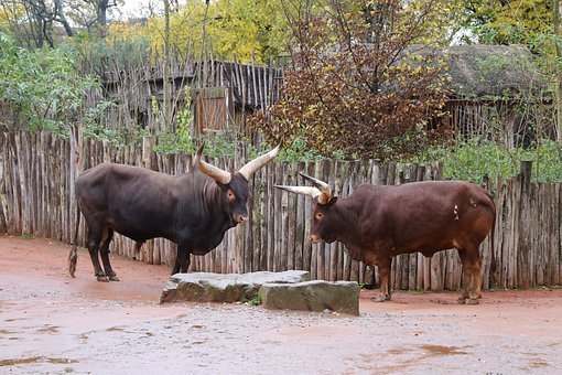 Bulls, Two Bulls, Animal, Nature, Outdoors, Couple