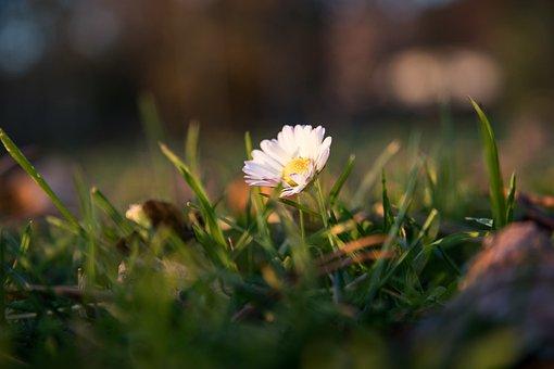 Daisy, Flower, Pointed Flower, White Blossom