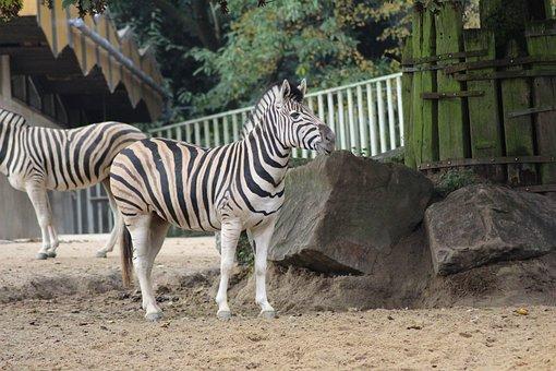 Zoo, Animal, Zoo Animal, Ungulate, Zebra, Wild Animal