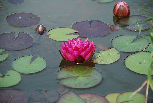 Water Lily, Pond, Aquatic Plant, Nature