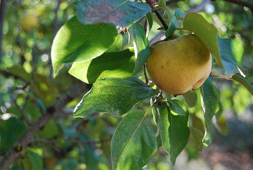 Quince, Fruit, Autumn, Tree, Leaves, Yellow, Fruit Tree