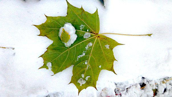 Autumn, The First Snow, Maple Leaf