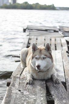 Bridge, Husky, Photoset, Animal, Pets, Siberian, River