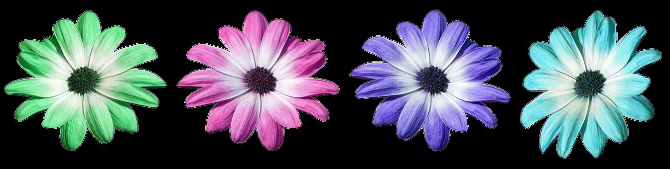 Flower, Pink, Daisy, Petals, Flora, Flowers