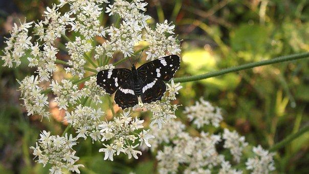 Butterfly, Flower, European Map