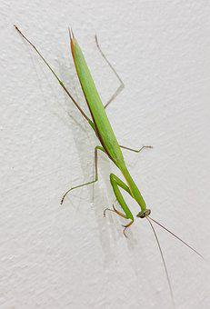 Grasshopper, Large, Tropical, Insect, Green