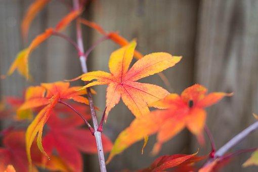 Japan Maple, Maple Leaf, Autumn, Autumn Wallpaper