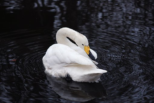 Swan, Beauty, Birds, Pond, White Swan, Lake, Swans