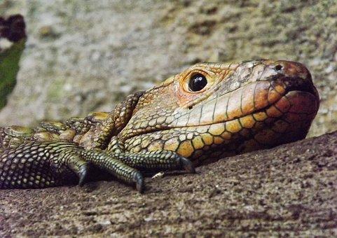 Reptile, Lizard, Vivarium, Agama, Animal