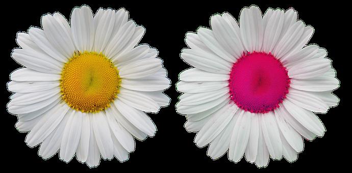 Flowers, Blossom, Bloom, Wild Flowers, Daisy, Nature