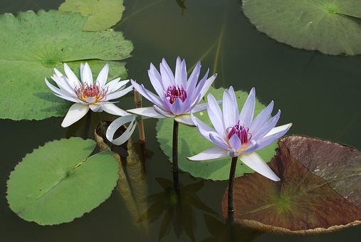 Water Lily, Aquatic Plant, Lake Rose, Flower, Nature
