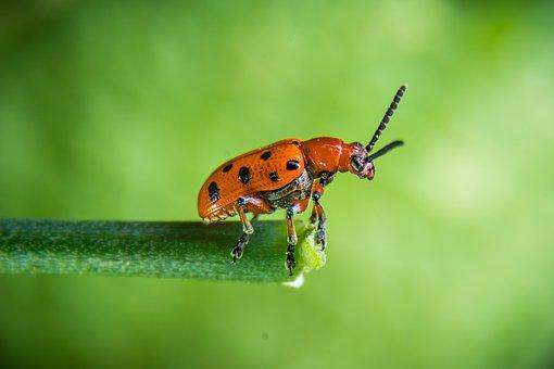Beetle, Rape Beetle, Insect, Red Beetle, Macro, Nature