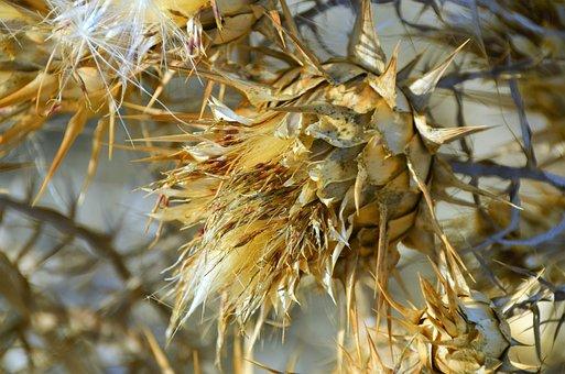 Sardinia, Plant, Prickly, Nature, Close
