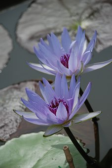 Water Lily, Aquatic Plant, Pond, Nature