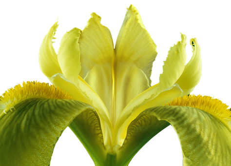 Iris, Isolated, Blossom, Bloom, Plant, Yellow Flowers