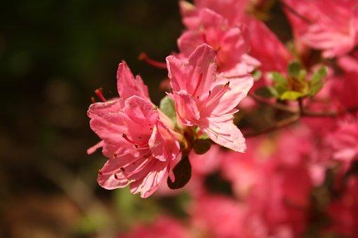 Pink, Flower, Nature, Bloom, Blooming, Blossom, Macro
