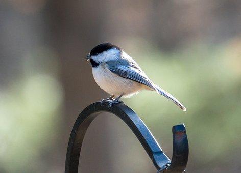 Chickadee, Bird, Bird On The Tree, Little Bird