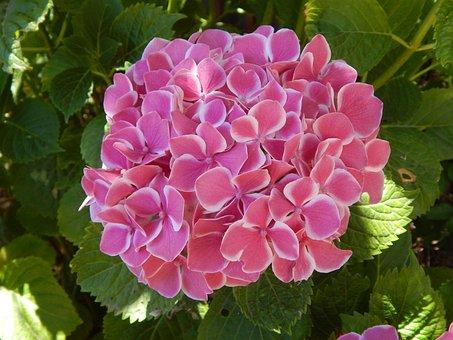 Hydrangea, Pink, White, Flower, Nature, Garden, Flora