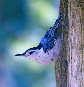 Nuthatch, Bird, Bird On The Tree, Little Bird