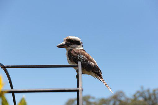 Kookaburra, Bird, Australian, Wildlife, Native, Feather