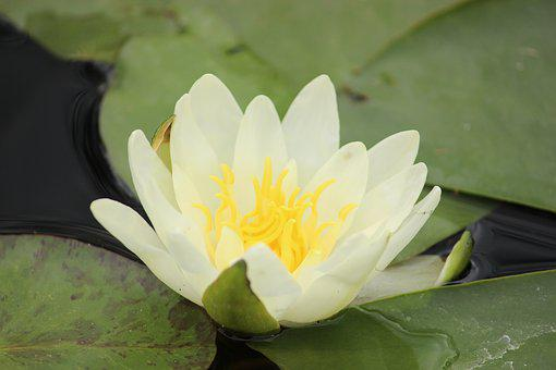 Water Lily, Nature, Plant, Aquatic Plant
