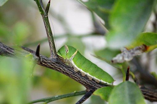 Catterpillar, Insect, Nature, Animal, Larva, Wildlife